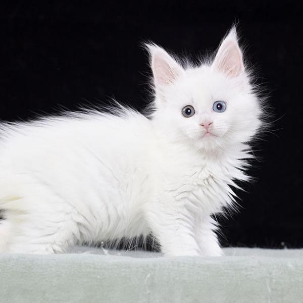 белый котенок мейн кун VANITY