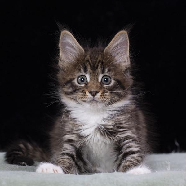 котенок мейн кун  Verona из питомника  Estate Pearls 1,5 месяца, окрас черный пятнистый с белым