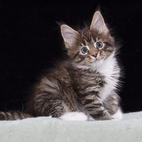 котенок мейн кун  Verona из питомника  Estate Pearls 1,5 месяца