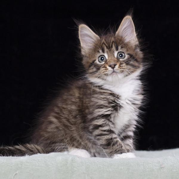 котенок мейн кун  Verona из питомника  Estate Pearls