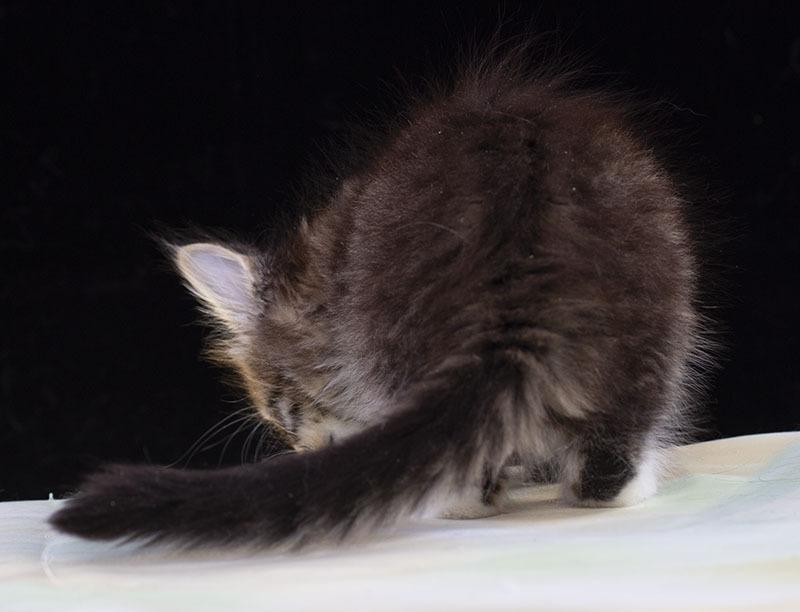 kitten maine coon Vilma Estate Pearls