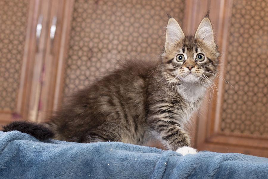 kitten maine coon Vilma из питомника Estate Pearls 2.5 месяца