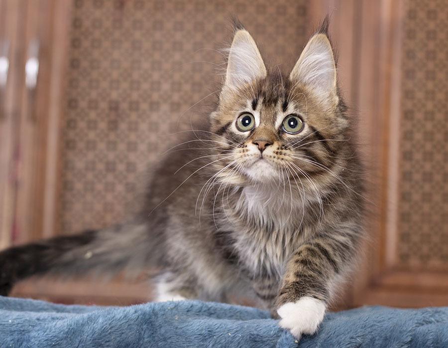 kitten maine coon Vilma Estate Pearls 2.5 месяца окрас черный пятнистый с белым