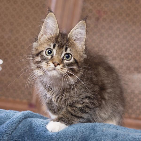 kitten maine coon Vilma Estate Pearls 2.5 месяца