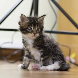 котенок мейн кун Volga-Volga  возраст 3 недель окрас n 09 22.
