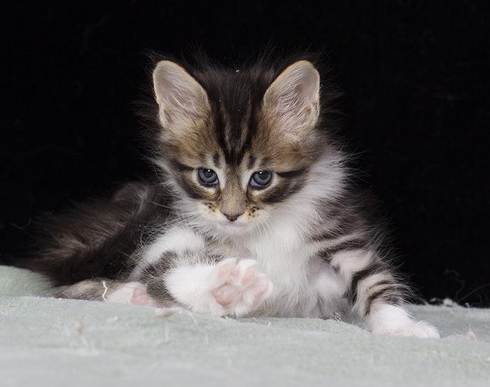 котенок мейн кун Whita Estate Pearls