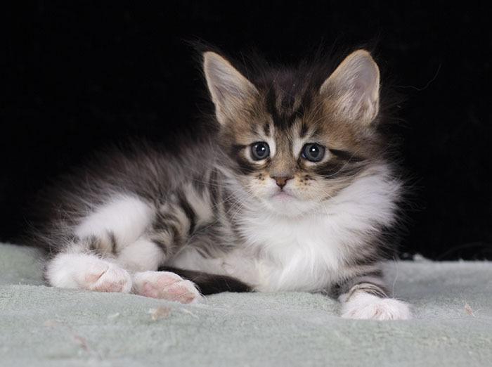 котенок мейн кун Whita зи питомника  Estate Pearls 1.5 месяца, окрас черный пятнистый с белым