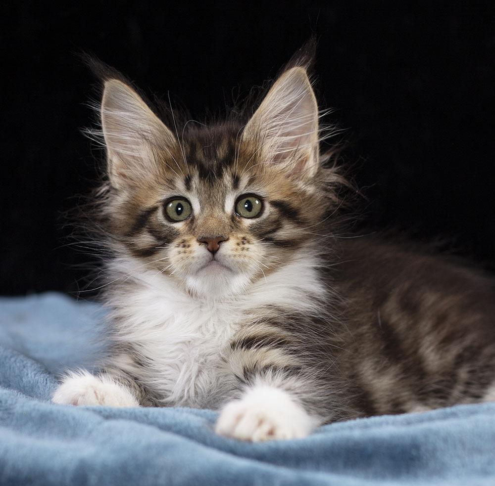 котенок мейн кун Whitaа  Estate Pearls 2 месяца, окрас черный пятнистый с белым