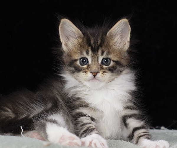 котенок мейн кун Whita Estate Pearls 1.5 месяца