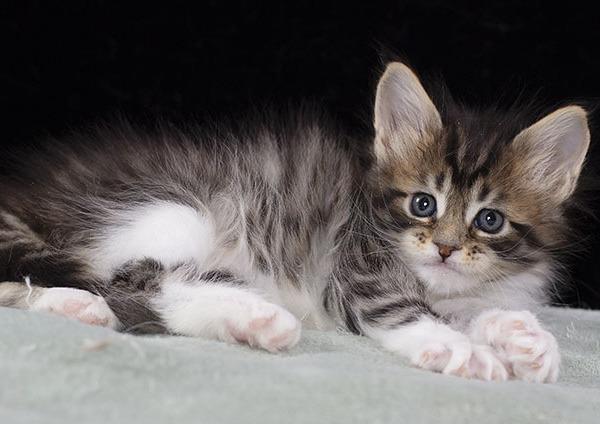 котенок мейн кун Whita из питомника  Estate Pearls 1.5 месяца