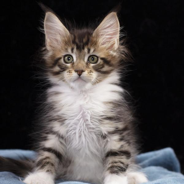 котенок мейн кун Whita Estate Pearls 2 месяца