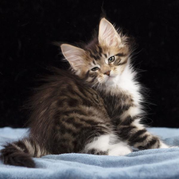 котенок мейн кун Whita из питомника  Estate Pearls 2 месяца, окрас черный пятнистый с белым