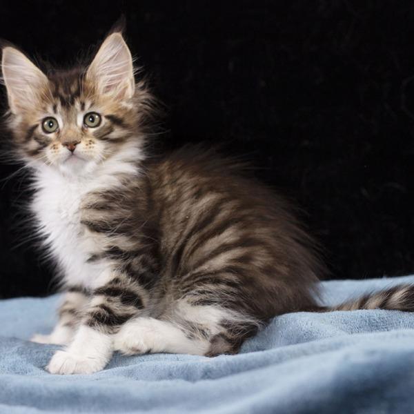 котенок мейн кун Whita из питомника  Estate Pearls 2 месяца