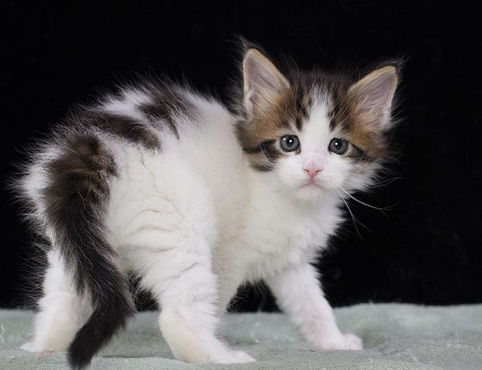 котенок мейн кун WINGSTAR  из питомника Estate Pearls 1.5 месяца,