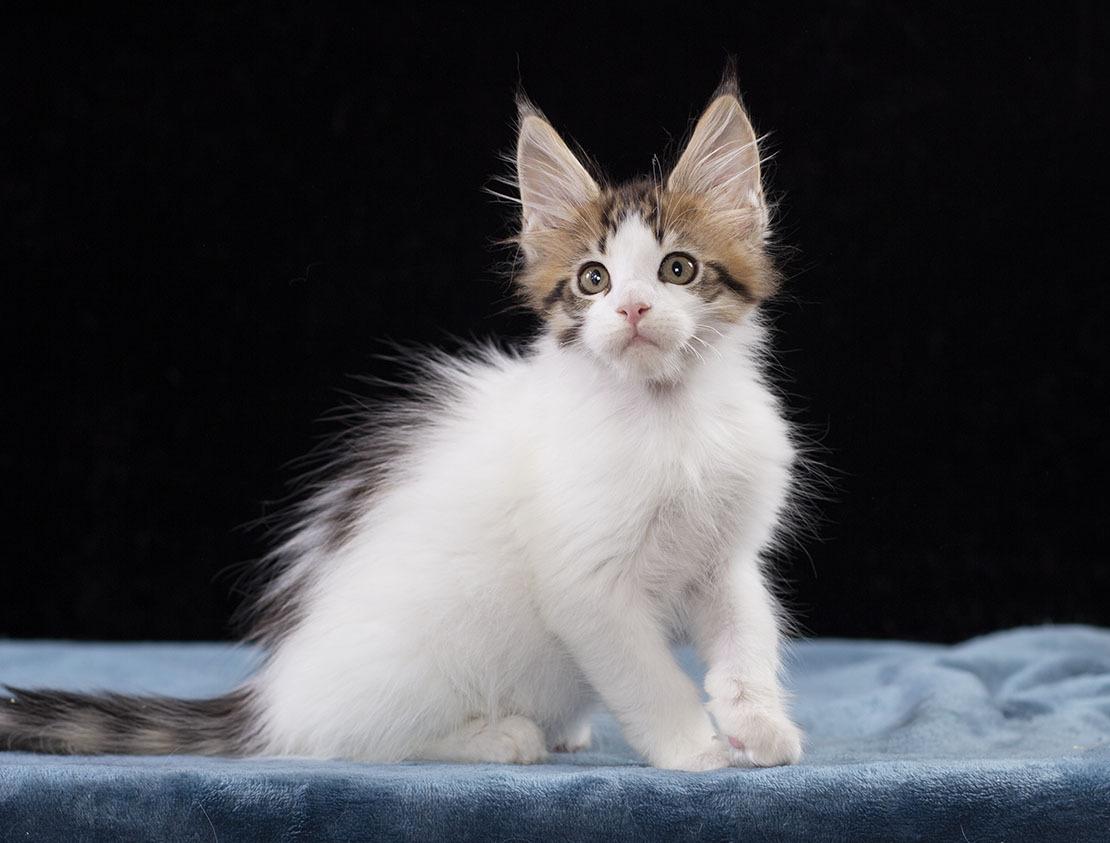 котенок мейн кун WINGSTAR   Estate Pearls 2 месяца,