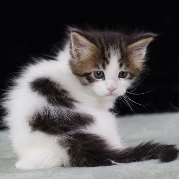 котенок мейн кун WINGSTAR   Estate Pearls 1.5 месяца,