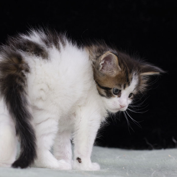 котенок мейн кун WINGSTAR  из питомника Estate Pearls 1.5 месяца, окрас n 02 22