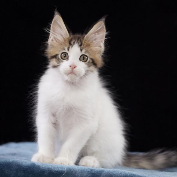 котенок мейн кун WINGSTAR  из питомника Estate Pearls 2 месяца,
