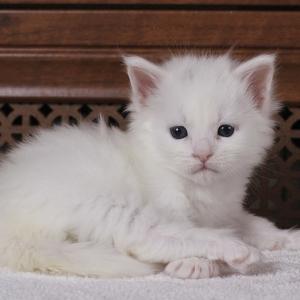 белый котенок мейн кун Yuki из питомника Estate Pearls.