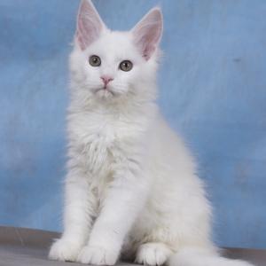 котенок мейн кун Yuki из питомника Estate Pearls. фото в возрасте 3 месяца, окрас белый