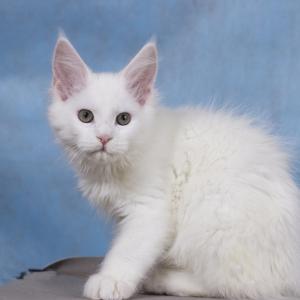 белый котенок мейн кун Yuki из питомника Estate Pearls. возраст 3 месяца