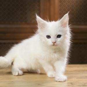 белый котенок мейн кун Yuki из питомника Estate Pearls. возраст 1,2 месяца