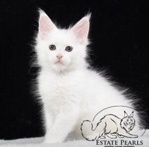 белый котенок мейн кун Pontiac